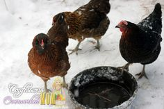 Vermont - chickens in the snow
