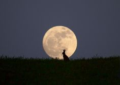 moon gazing hare....