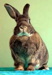 Dirty Harry is an adoptable Bunny Rabbit Rabbit in Portland, OR. My original name was Harold, but since I lost my dear bond mate Maude, I like being called Harry. I would love to be bonded again. I al...