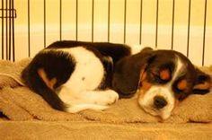 beagalier puppy - I want this dog!
