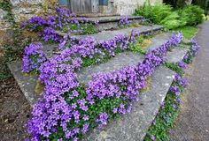 Steps are softened with Campanula, a creeping perennial that quickly fills in bare spots and blooms in spring and summer.