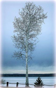 Awesome  Birch Tree