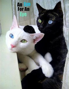 anim, opposites attract, eye colors, blue green, black cats, white cats, green eyes, kitti, blues