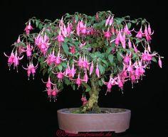 Fuchsia bonsai! WHAT?!
