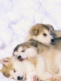 Alaskan Malamute Puppies in the Snow.