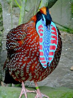 Temminck´s tragopan aprox 64 cm long aprox médium size. Male stocky red and orange bird with White spotted plumaje, black bill and pink legs (Wikipedia).