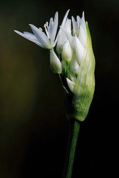 Ramsons, Wild Garlic by Allen Holmes