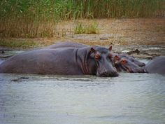 Hippos in St. Lucia, South Africa