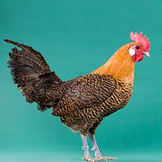 Golden Campine chicken; Listed as Critical and at risk of extinction by the American Livestock Breeds Conservancy. Help save our heritage breeds.