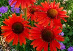 echinacea plant, cone flower, yard, perennial plants, lava coneflow, echinacea hot, garden idea, flowers, hot lava