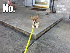 Corgi puppy's first walk