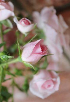 Soft Pastel Pink Roses