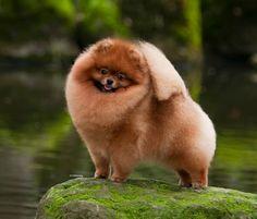 Pomeranian, GCH CH Powerpom High Performance
