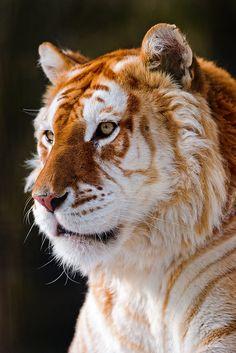 Portrait of the golden tiger by Tambako the Jaguar, via Flickr