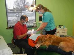 A dentist had the brilliant idea of bringing his golden retriever into the office to comfort his patients. Why isn't he MY dentist??
