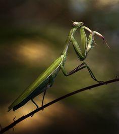 Praying Mantis by Cyril Verron.
