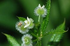 Cleavers (herb) for lymphatic health