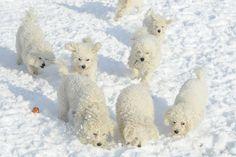 Snow day bichon party!