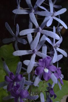 Sandpaper vine (Petrea volubilis)