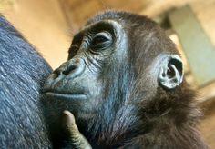 Baby Gorilla - awwwwww!