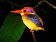 Oriental Dwarf Kingfisher.