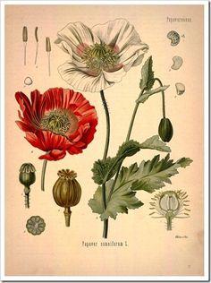 Free Botanical Prints
