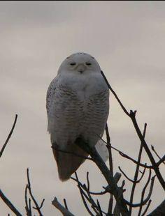 Snowy Owl at West Dennis Beach. Cape Cod,  MA