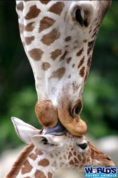 I love Giraffes....probably too much.