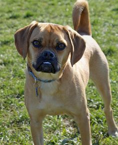 ... Puggle / Pug-Beagle Mix) on Pinterest | Beagles, Pugs and Beagle Mix