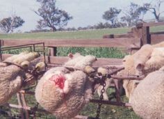 Petition to sign and share. 12 28 2012. Australia: Stop Your Cruel, Barbaric Treatment of Gentle and Innocent Sheep  BY SHILPA AGARWAL   Target:Australian Prime Minister Julia Gillard and Minister for Agriculture Tony Burke.  Goal:Ask the Australian government to put an end to the brutal mutilation of innocent sheep.