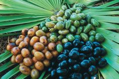 Black Saw Palmetto berries are the best for eating - ripe in late September to early November (~ 3 weeks).