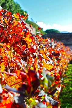 Vineyard in Pompeii