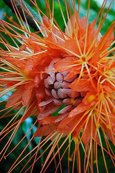 The amazing red orange and gold petals and filaments of a wet Brownea or Handkerchief Tree