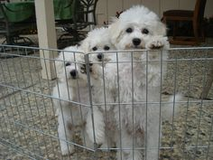 Love those bichons