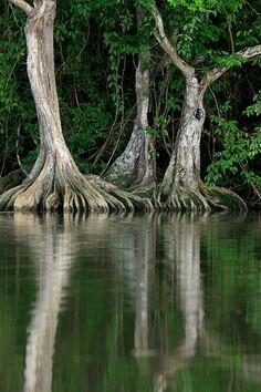 Pterocarpus offcinale, Rio Caruao, Estado Vargas, Venezuela