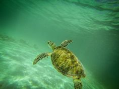 Snorkeling with Sea Turtles in Akumal ~image by Erica Kuschel >>> I did this!!