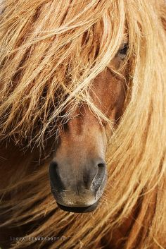 Icelandic Horses, the only breed of horse in Iceland: their laws prevents horses from being imported into the country, and exported animals are not allowed to return.