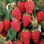 Heritage Red Raspberry Plant http://www.tytyga.com/Heritage-Red-Raspberry-p/heritage-red-raspberry-plant.htm