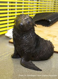 New England Aquarium News and Updates: Rare Fur Seal Pup Born at the Aquarium