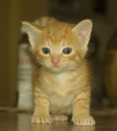 tiny orange kitten -- Had a dream that I found and kept a little orange kitten so now I want one :/