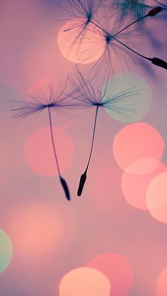 #iPhone #5C #Wallpaper #Dandelions