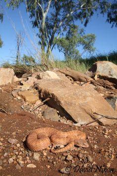 Acanthophis pyrrhus; Desert Death Adder