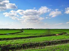 Rice Field in the Mississippi Delta - Murphy, Mississippi - www.flatoutdelta.com