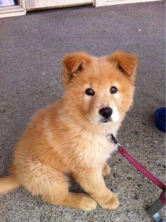 Golden Retriever / Chow puppy