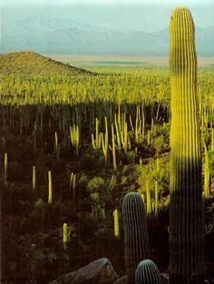 cactus forests, nature beauty, cacti, national parks, places, gates, deserts, fields, cactus