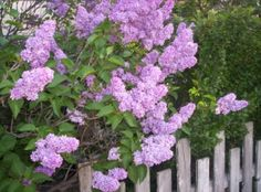 lilacs and picket fences