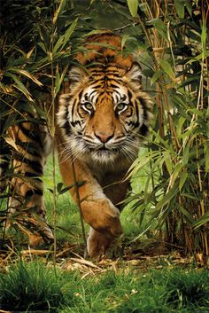 BAMBOO-TIGER-NATURE-POSTER-PRINT-TIGER-IN-THE-WILD