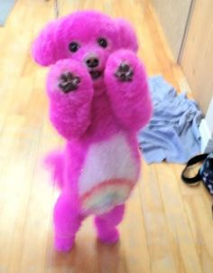 OMG! Love this!!!!! Care Bear Poodle! Rainbow! #pink #poodle #rainbow