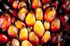 Plantáže palmy olejné v Indonésii se během posledních dvou desítek let rozpínají překotným tempem a za tu dobu již zcela zničily široké pásy přírodního pralesa a kriticky důležitých oblastí rašelinišť. Dosanská komunita se zavázala k ochraně svého pralesa a k přijetí vylepšených environmentálních managementových metod. Více na http://bit.ly/dobry-olej