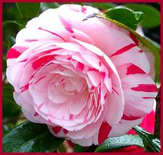 Peppermint Camelia ~ so pretty